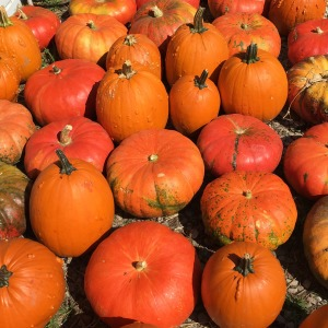 Photo of pumpkins at Beckwith Orchards